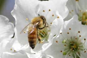 Biene in der Obstblüte