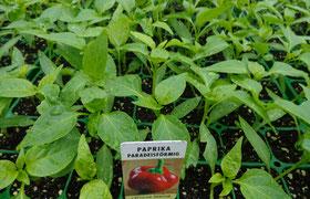 Paprika Paradeisfrüchtig rot