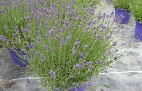 Lavendel groß