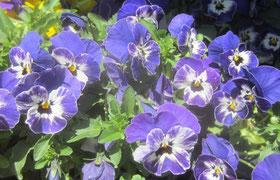 Viola großblühend