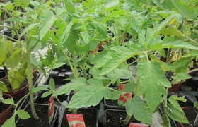 Tomaten Montfavet