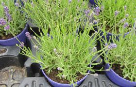 Lavendel klein