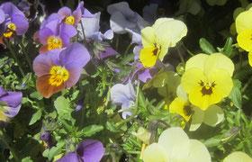 Viola kleinblühend