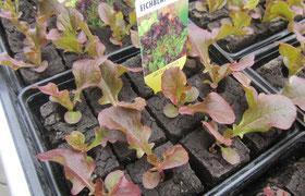Eichblattsalat rot