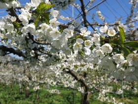 さくらんぼの花 白くたくさんの画像
