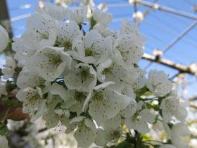 サクランボのしろい花