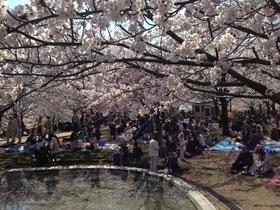 りゅーとぴあの桜(2014/4/13)