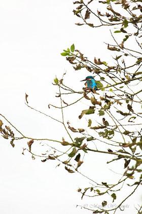 Eisvogel hoch oben im Baum