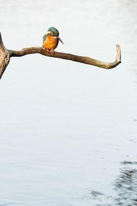 Eisvogel auf Ansitzast