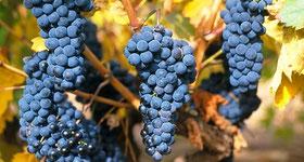 D.O.Ca.リオハ、収穫量、品質ともに昨年を上回る出来 (www.vinetur.com)