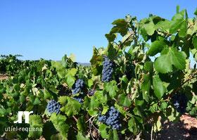 D.O.ウティエル-レケーナ、収穫したぶどうの品質は大変良く、健康状態も良好 (www.vinetur.com)