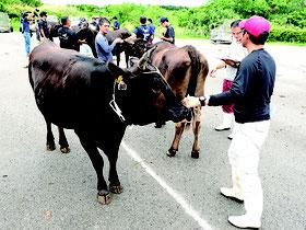 黒島で畜産共進会が開かれた=4日午後