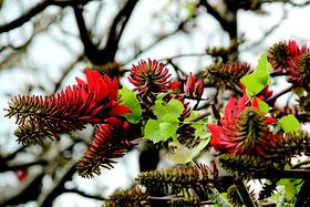 深紅の花を咲かせたデイゴ。これから暖かくになるにつれ、見ごろを迎える=11日午後、石垣市浜崎緑地公園