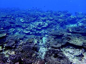 調査地点17。サンゴの白化現象による死滅状況=2016年11月30日(環境省那覇自然環境事務所提供)