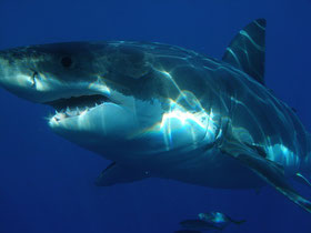 Weißer Hai, Great White Shark