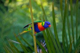 Allfarblori, Fauna Australiens, Keilschwanzlori