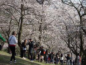 Sakura-Kirschbäume formen ein weisses Blütendach über den Besuchern in Torontos High Park.