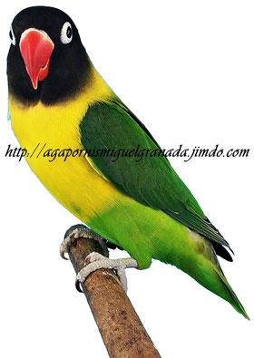 aviario miguel granada, personatus green wildtype, personata ancestral linea verde, agapornis personata