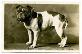 Toy Bulldog um 1910
