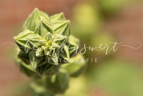 beachtenswert fotografie, Fotokunst, Blütenknospe, grün, Pflanzen