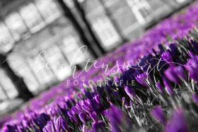 beachtenswert fotografie, Fotokunst, Krokusblüte, Krokus, Husum, Schlosspark, Krokusblüten
