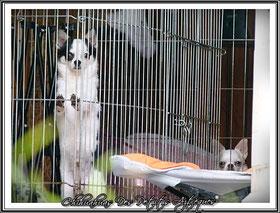 La puberté chez le chien : le chihuahua