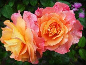 Bild: Wiedererkennen der Rose