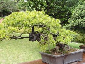 樹齢約200年 五葉松