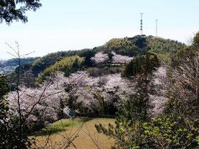 サクラ咲く谷津山