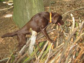 Toni klettert auf einem Stapel Äste herum, um an verstecktes FUtter zu gelangen