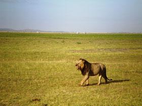アンボセリ国立公園のライオンさん