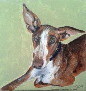 Hundeporträt: Podenco liegend, braun-weiß, schaut Betrachter an