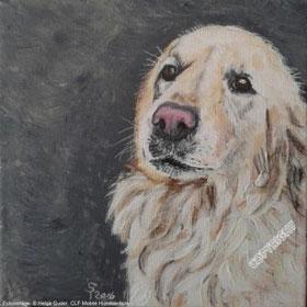 Hundeporträt: Golden Retriever (Kopf/Brust) schaut Betrachter an