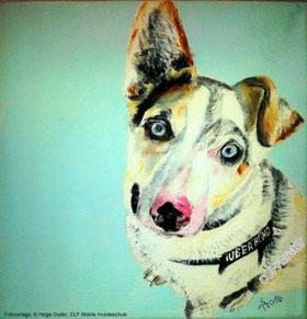 Hundeporträt: Jack Russel, weiß mit braunen Ohren, blauen Augen und schwarz-rosa Nase. Hund sitzt und schaut den Betrachter an
