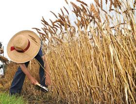 東久留米市南町での麦刈りの様子(2012年)