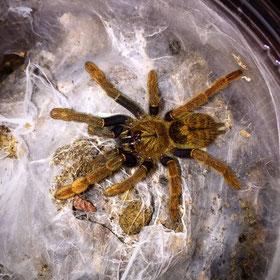 Encyocratella olivacea juvenil Vogelspinne Vogelspinnen Birdspider Birdspiders Tarantula Tarantulas