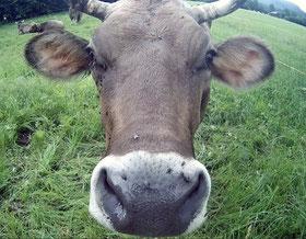 Ochse Kuh Stier Nase in Kamera Nahaufnahme