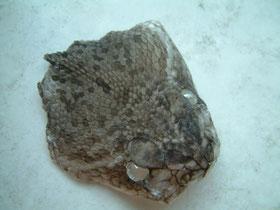 Crotalus adamanteus