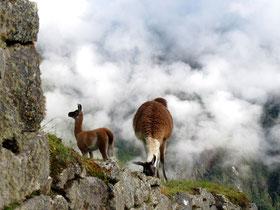 nur noch die Lamas versperrten den Weg auf den Terrassen