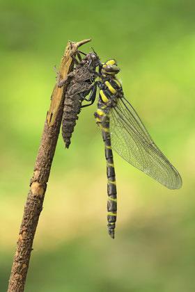 Frühe Adonislibelle (Pyrrhosoma nymphula), Männchen