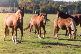 Pferde, Koppel, Wiese, Weide, Fuchs, Brauner, Brandenburg, Reitverein, Alte Pferde, Tierschutz,