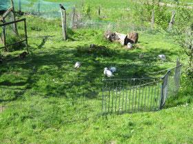 Freilandhaltung von Kaninchen