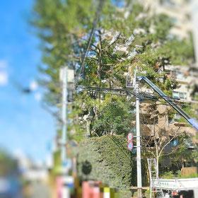 保存樹剪定 高木剪定
