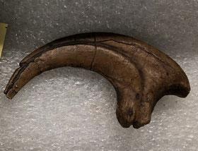 デイノニクス 足の第2趾 (ホロタイプ標本)イェール・ピーボディ自然史博物館所蔵