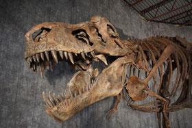 ティラノサウルス 復元骨格© Courtesy of The Royal Saskatchewan Museum, Sandra Foreman Photography 北海道むかわ町穂別博物館所蔵