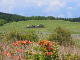 高ボッチ高原牧場の牛たちは水飲み場に。