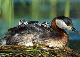 Фото с сайта: http://birds-altay.ru/2010/01/seroshhyokaya-poganka/