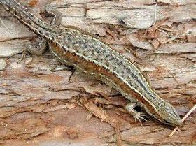 Фото с сайта: http://www.nature.chita.ru/Animals/Reptilia/lacerta_vivipara.htm