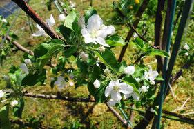 りんごの木「フジ」