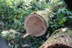 伐採したての杉